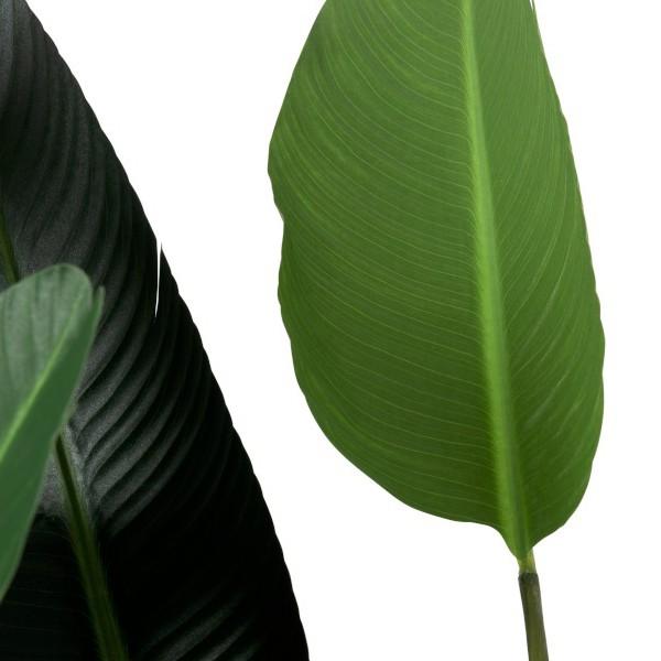 Estrelícia Verde  L 245cm