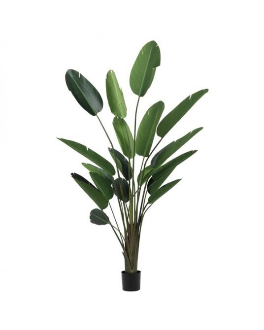Strelitzia Green L 245cm